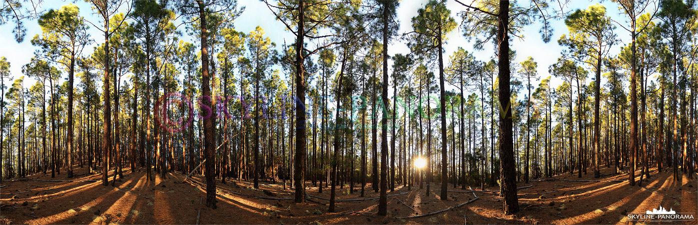 Waldpanorama - Dieses Panorama entstand im kanarischen Kiefernwald des Teide Nationalparks auf der Insel Teneriffa zum Sonnenuntergang.