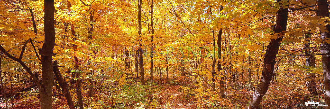 Bilder aus Kanada - 6x17 Panorama eines farbenfrohen Ahornwalds zum Indian Summer im kanadischen Quebec.