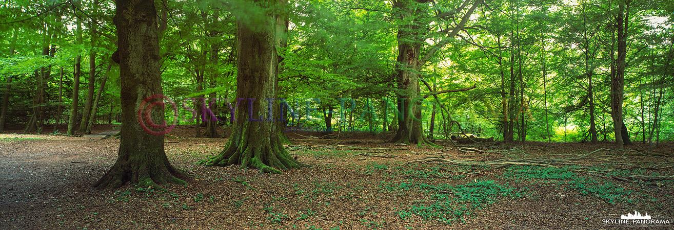 Panorama Hessen - Der im nordhessischen Landkreis Kassel gelegene Reinhardswald gehört zu den größten zusammenhängenden Waldgebieten Hessens, dieses Panorama ist im Naturschutzgebiet Urwald Sababurg entstanden