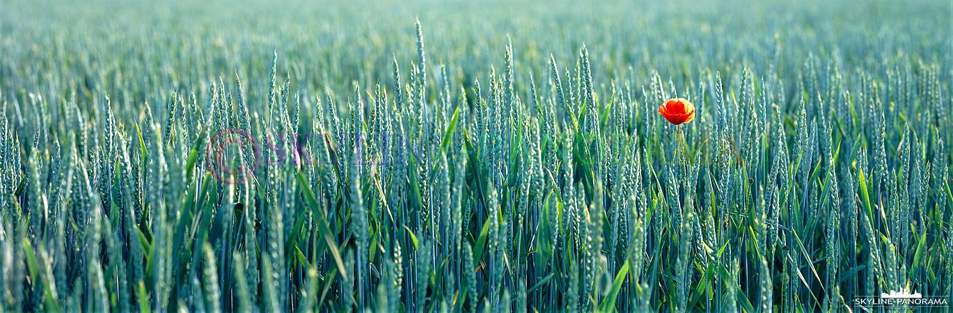 6x17 Panorama - Eine einzelne rote Mohnblume im grünen Weizenfeld als großformatige Panoramaaufnahme.