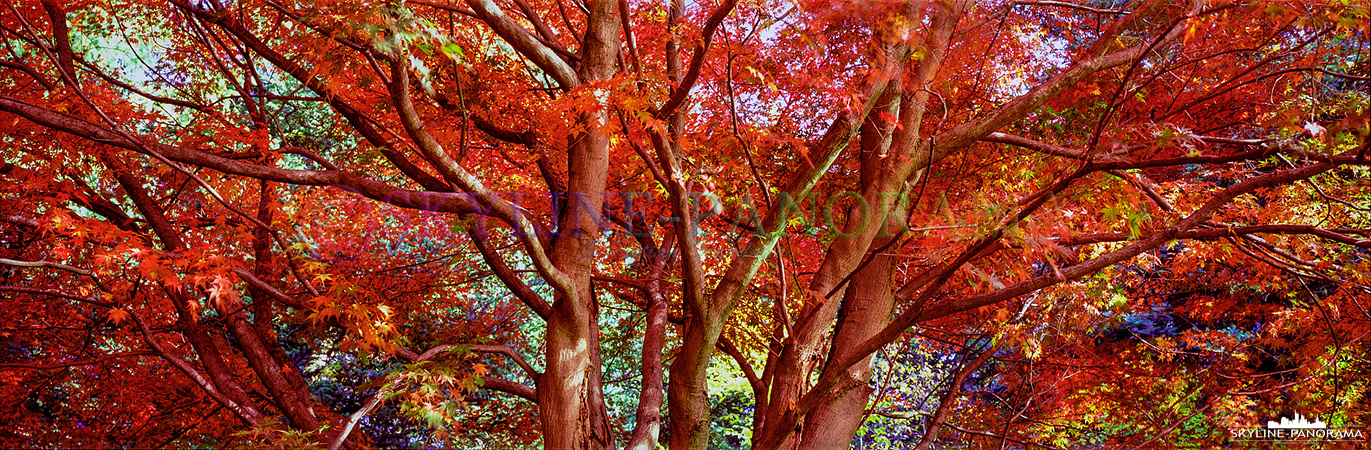 Dieses Panorama zeigt einen herbstlichen Japanischen-Fächerahorn im Weltwald Harz bei Bad Gund. Von September bis Oktober sind die Blätter des Bäumchens in leuchtendes Rot getaucht.