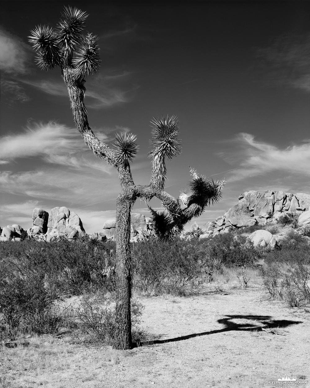 """Joshua Tree in 4x5"""" Largeformat - Erneut ein interessanter Joshua Tree in Schwarz-Weiß, diesmal vor der beeindruckenden Felsformation mit dem Namen Jumbo Rocks. Fotografiert wurde diese Aufnahme mit einer Chamonix C45F-2 Großformatkamera auf Kodak Tmax 100 4x5"""" Planfilm."""