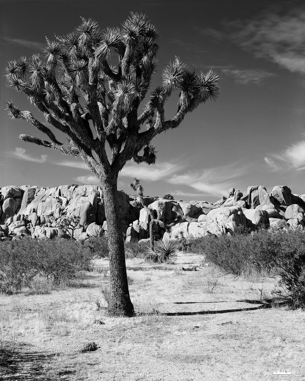 """4x5"""" Großformat in Schwarzweiß - Ansicht aus dem Joshua Tree Nationalpark, zwei Joshua Trees vor einer imposanten Felskulisse im Hidden Valley."""