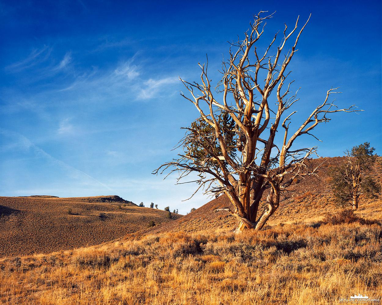 """4x5"""" auf Velvia 50 - In den Hochebenen der White Mountains in Kalifornien, auf etwa 3000 Meter über dem Mehrensspiegel, stehen ein paar der ältesten Bäume der Erde, deren Name ist Methuselah Baum, eine """"Langlebige Kiefer"""" die in dieser Region ca. 4800 Jahre alt sind. Wie alt genau der hier abgebildete Methuselah Tree ist, kann ich leider nicht angeben."""
