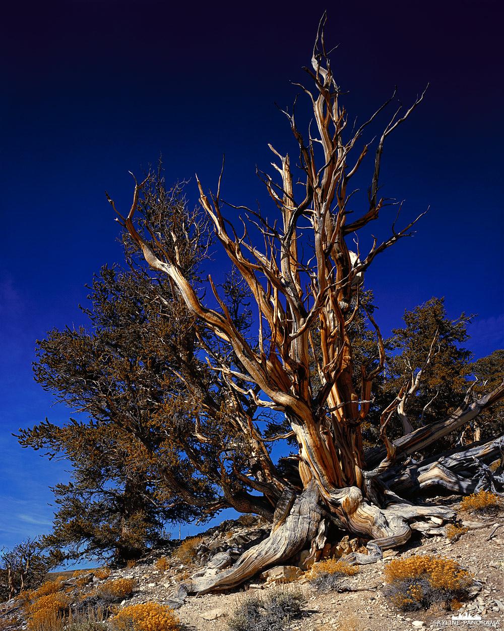 Die Methuselah in den White Mountains in Kalifornien sind über 4800 Jahre alt. Die alten Kiefern stehen in den Ancient Bristlecone Pine Forest auf 3000m ü.NN