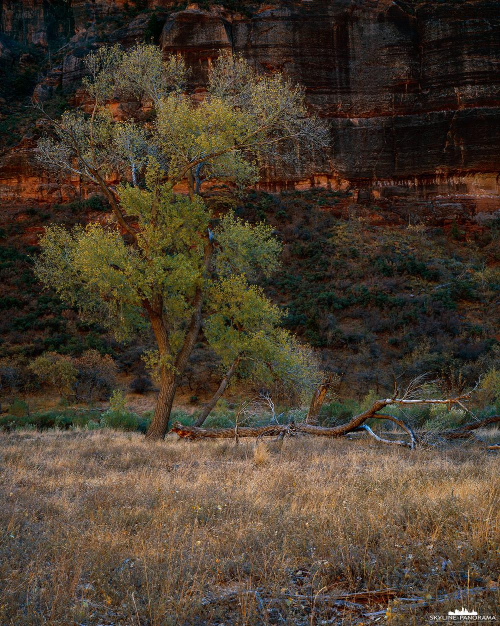 Herbst im Zion Nationalpark Utah - Hier zu sehen ist eine Pappel im Zion Canyon, die von dem warmen reflektierenden Licht der gegenüberliegenden Sandsteinwand beschienen wird. Diese Pappeln - auf Englisch Cottonwoods - stehen wie ein Band entlang des Virgin Rivers, im Herbst färben sich die Blätter in leuchtendes Gelb und das ansonsten grüne Band erstrahlt in herbstlichen Farben.