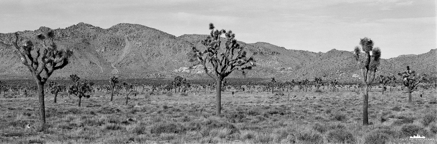 6x17 Panorama in Schwarz-Weiß - Der Joshuabaum ist der Namensgeber des Joshua Tree Nationalparks im Süden von Kalifornien, hier zu sehen als Telepanorama, festgehalten auf Ilford Schwarzweißfilm.