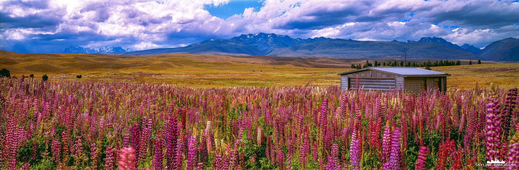 Neuseeland Panorama - Die Landschaft auf der neuseeländischen Südinsel am Lake Tekapo ist im Frühjahr oft von blühenden Lupinen gesäumt.