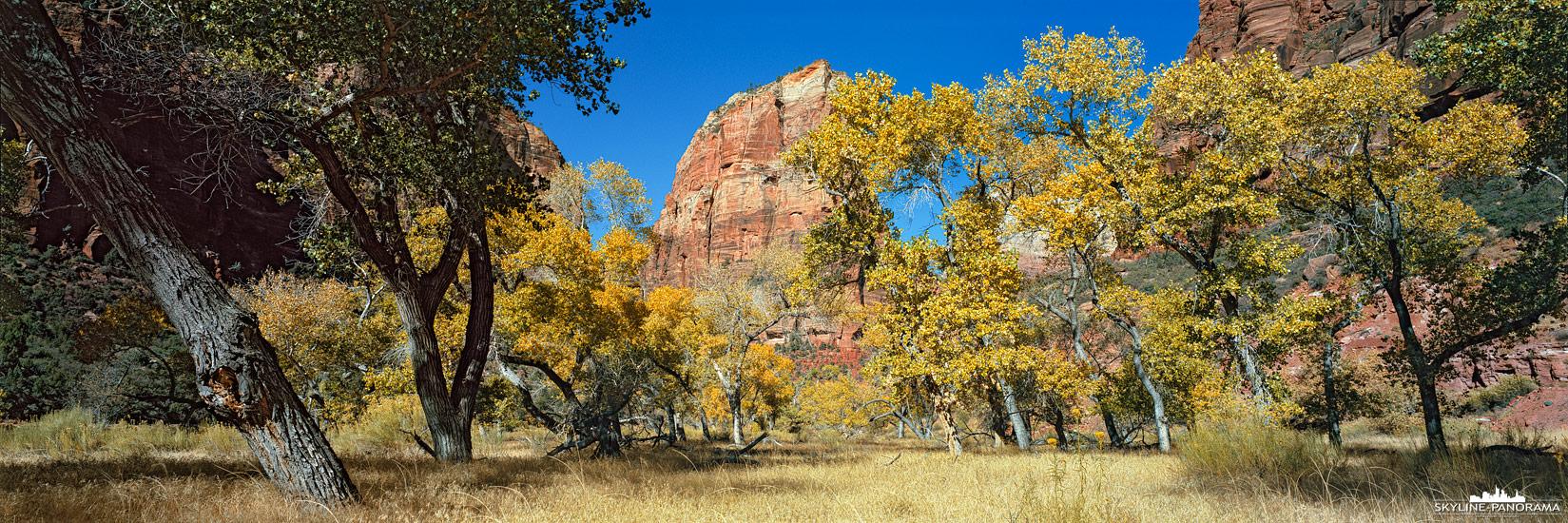 Panorama Zion Nationalpark - Unterwegs im Canyon des Zion Nationalparks, kurz vor Big Bend mit Blick auf Angels Landing. Das 6x17 Panorama entstand Anfang November und zeigt die Cottenwood Trees mit herbstlicher Laubfärbung.