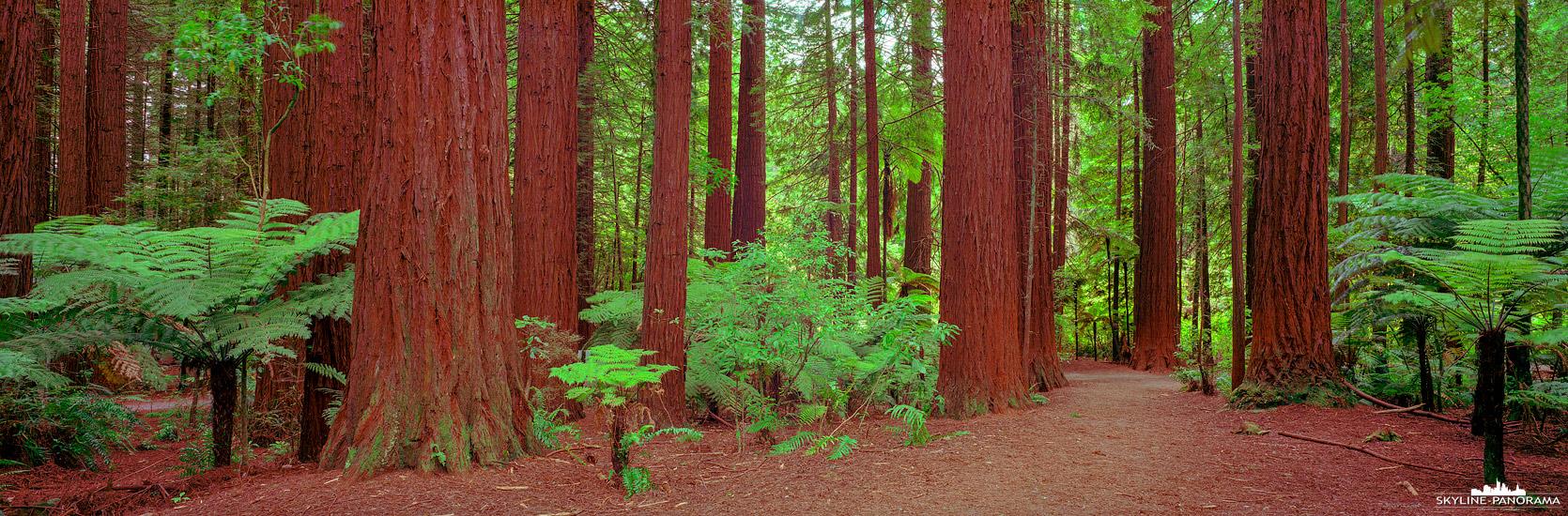 Sehenswürdigkeiten auf der Nordinsel von Neuseeland - Der Whakarewarewa Forest, am Stadtrand von Rotorua, ist bekannt für seine kalifornischen Redwoods Küstenmammutbäume, die hier in den ersten Jahren des 20. Jahrhunderts gepflanzt wurden und mittlerweile eine Höhe von über 70 Meter erreicht haben.