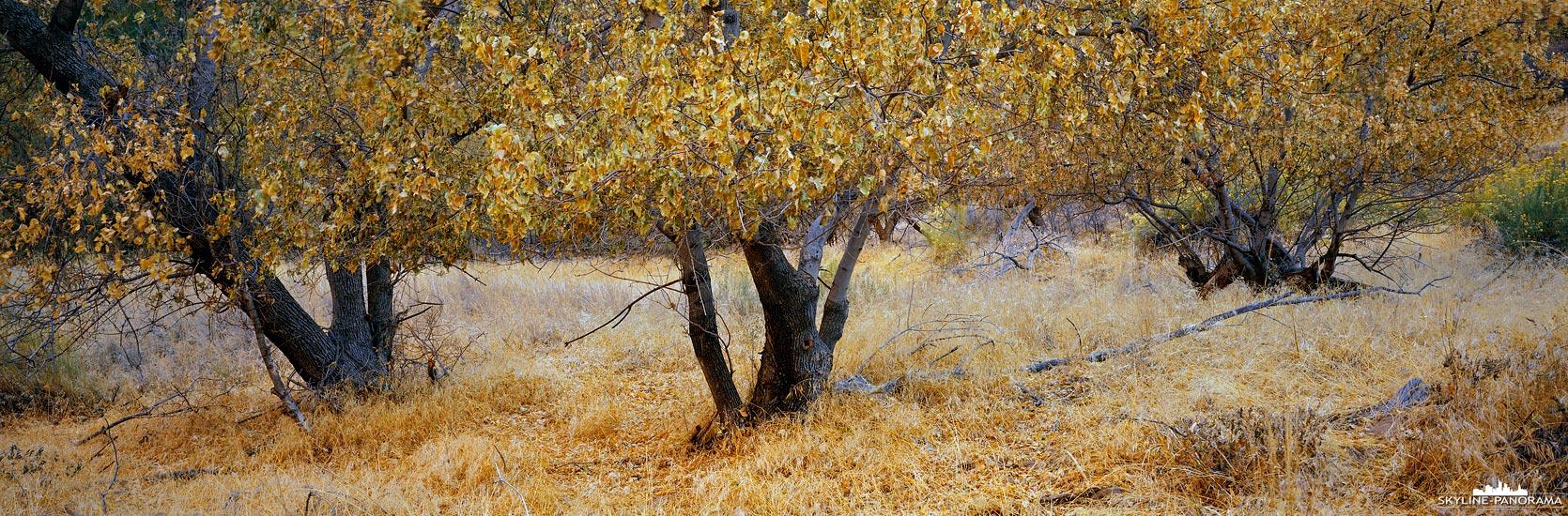 Ein herbstliches Motiv aus dem Zion Nationalparks in Utah, zu sehen ist eine kleine Gruppe von Pappeln mit gelb eingefärbten Blättern, die ich im Bereich der Big Bend bei meinem Aufenthalt im November 2019 entdeckt habe.