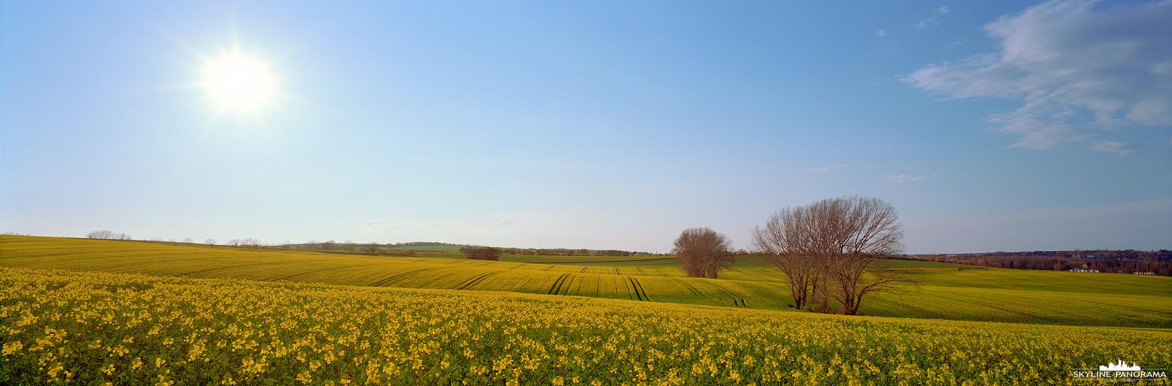 Bilder aus Mitteldeutschland - Ein in der Blüte stehendes Rapsfeld in der Nähe von Aschersleben, am östlichen Rand des Harzes.