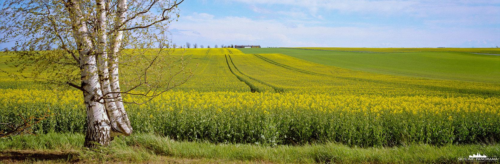 Landschaft in Mitteldeutschland - Panorama mit einer Birke als Hauptmotiv die am Rand eines blühenden Rapsfeldes steht.