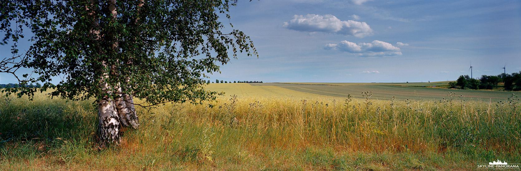 6x17 Panorama Mitteldeutschland - Ein sommerliches Rapsfeld im Harzvorland mit einer schönen Birke am Rand des Weges. (Jahreszeitenprojekt)