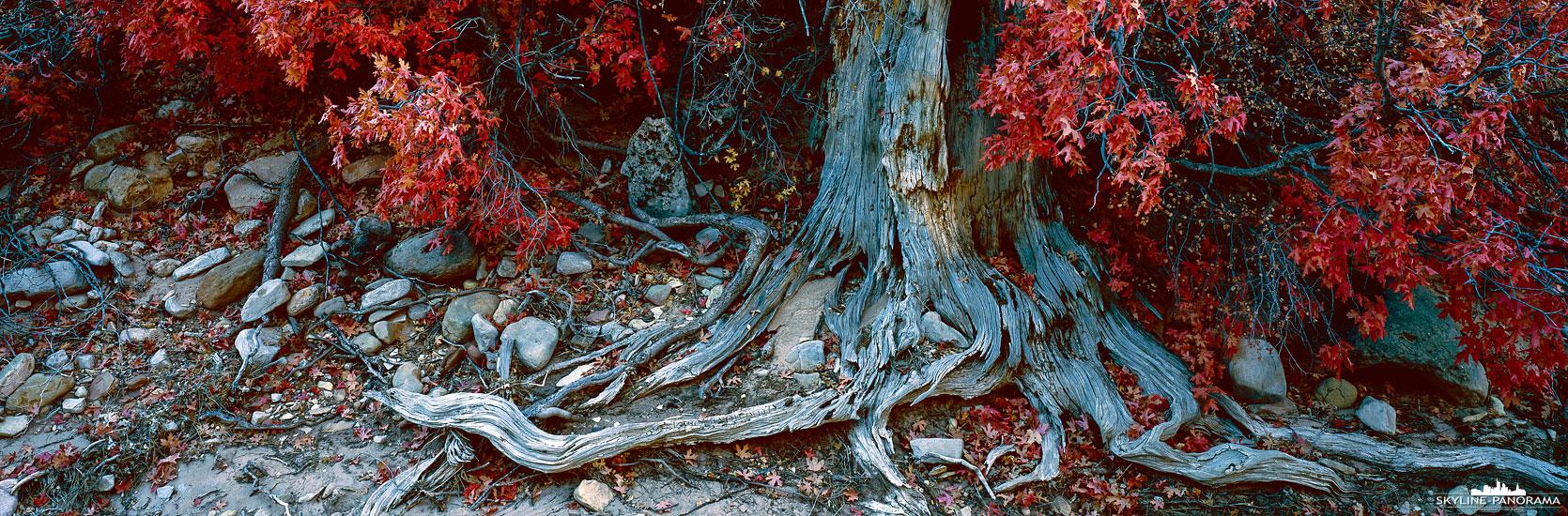 Ein alter verknöcherter Baumstamm in mitten eines, in der Herbstfärbung stehenden, Ahornbaumes. Das Motiv habe ich in einem ausgetrockneten Flussbett im Zion Nationalpark in Utah entdeckt.